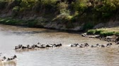 zebras and wildebeest crossing the river mara in kenya during the migration season