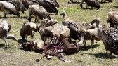гриф : vultures eating an animal