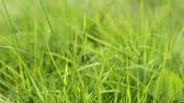 gramíneo : Fresh green grass swaying on the wind, macro shot