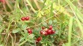 żurawina : Cowberry. Bushes of ripe forest berries Wideo