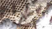 picar : Close up of brown paper wasp workers taking care of their brood combs which accommodate young larvae and eggs