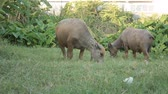 Buffalo graze in the meadow. 動画素材