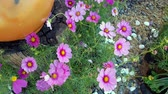 guloseima : Cosmos flowers in the garden by the wind.