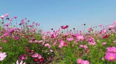 Beautiful Cosmos flowers by the wind.