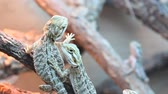динозавр : Close up of 2 lizards in a pet shop