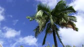 bermudas : Palm tree on a sunny and windy day in Bermuda