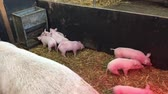 piglets : Piglets on farm