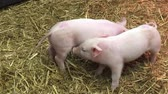 piglets : Little piglets play fighting
