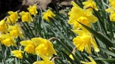 jonquil : Daffodil Spring Flowers Close Up - Swaying Gently In the Wind Stock Footage