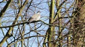 pigeon nest : Pigeon Bird Sitting on Branch of Tree Swaying in a Gentle Breeze - Rural Setting
