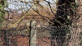 pigeon nest : Starling Bird on Fence in a Gentle Breeze Before Flying Off - Rural Setting Stock Footage