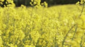movimentar se : Yellow rape flowers growing in a field