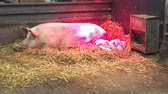 piglets : Pig with piglets under warm red lamp
