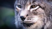 пантеры : Thick coated big cat the siberian lynx looking around in the forest Стоковые видеозаписи