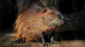 bóbr : Wet beaver by the edge of the lake with sunlight rippling off his fur
