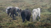 pár : Family of horses moving through tough landscape in strong rain