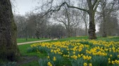 springtime : Park Scene With Many Daffodils In The Spring Stock Footage