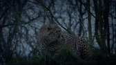 cheetah : Cheetah Crouches And Stalks Off In The Evening