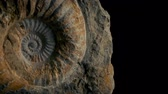 shell : Passing Large Ammonite Prehistoric Stock Footage