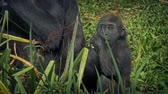 eats : Baby Gorilla By Mother Eating Foliage
