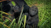 uganda : Baby Gorilla Clings To Mother