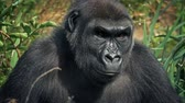 uganda : Gorilla Looks Around Jungle On Windy Day