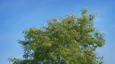 frondoso : Tree Top Blowing Around On Blue Sky