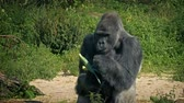 eats : Gorilla Eating Vegetable At The Zoo