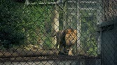 млекопитающие : Lion Pacing Up And Down Cage