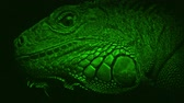kafa : Night Vision View Of Lizard Closeup Stok Video