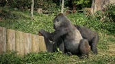 çiğneme : Gorilla Breaking Coconut Open At Zoo