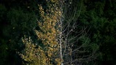 csupasz : Golden Leaves Blowing Off Half Bare Tree In Fall
