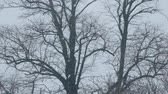 ветер : Snow Falling On Bare Trees Стоковые видеозаписи