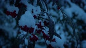 dusk forest : Berry Bushes In Snow Fall In The Evening