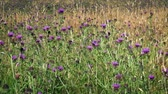 devedikeni : Wild Thistle Flowers In Meadow