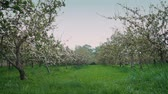 Orchard With Apple Trees In Rows