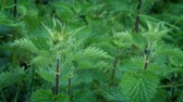 vidéki táj : Stinging Nettles Plant In Breeze Stock mozgókép