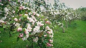 Apple Blossoms In Orchard