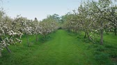 Walking Through Apple Orchard
