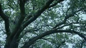 Large Tree Branches On Windy Evening