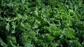 Freshly Picked Kale Superfood Vegetable 動画素材