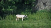 gramíneo : Cow Grazes By Barn On Summer Day
