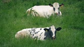Cows Eating Grass In The Field Stock Footage