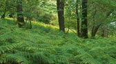 Summer Woodland With Carpet Of Ferns
