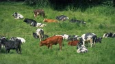 pastoreio : Cattle Relaxing In The Sun