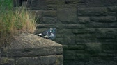 zwierzeta : Couple Of Pigeons On Outcrop Of Old Building Wideo