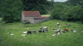 pastoreio : Cow Herd Near Old Barn In The Countryside Stock Footage