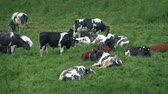 Many Cows Lying In The Field