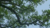 gardens : Oak Tree Branch In The Wind At Dusk