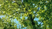 Tree Top Glowing On Perfect Sunny Day Stock Footage